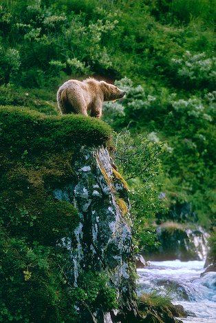 adolescent-kodiak-brown-bear_6681.jpg