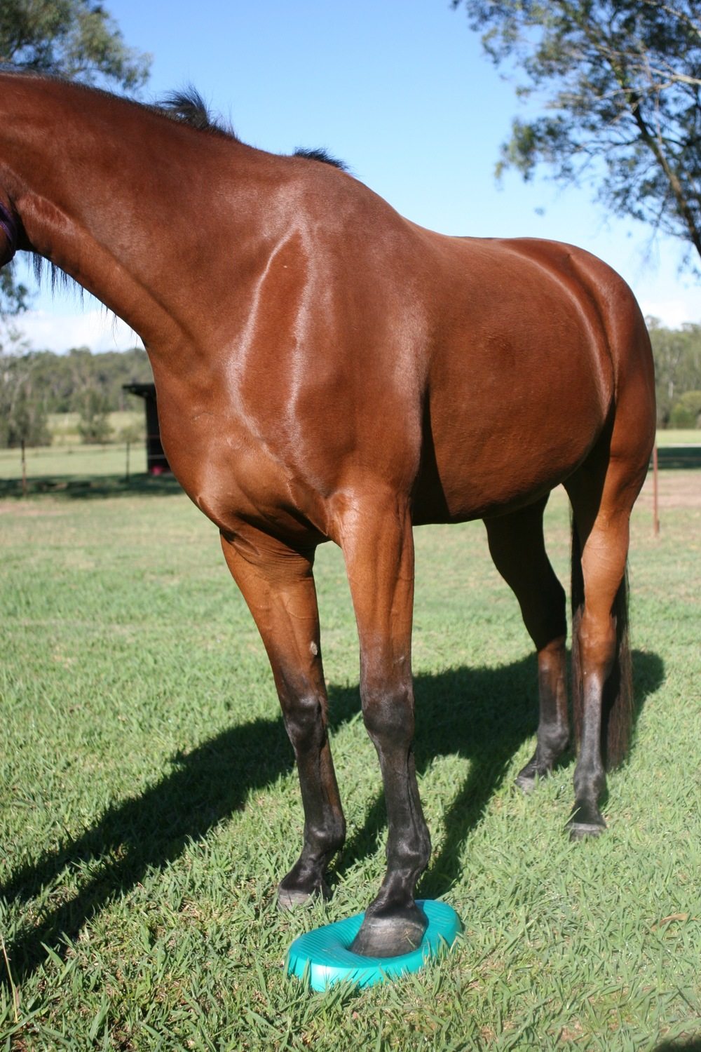 The use of stability discs are a great tool to help improve the horse's proprioception and balance. Proprioception refers to the ability to sense stimuli arising within the body regarding position, motion and equilibrium.