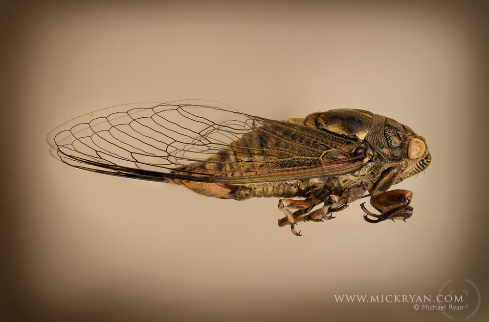 Cicada Portraits-1559-Edit-Edit.jpg