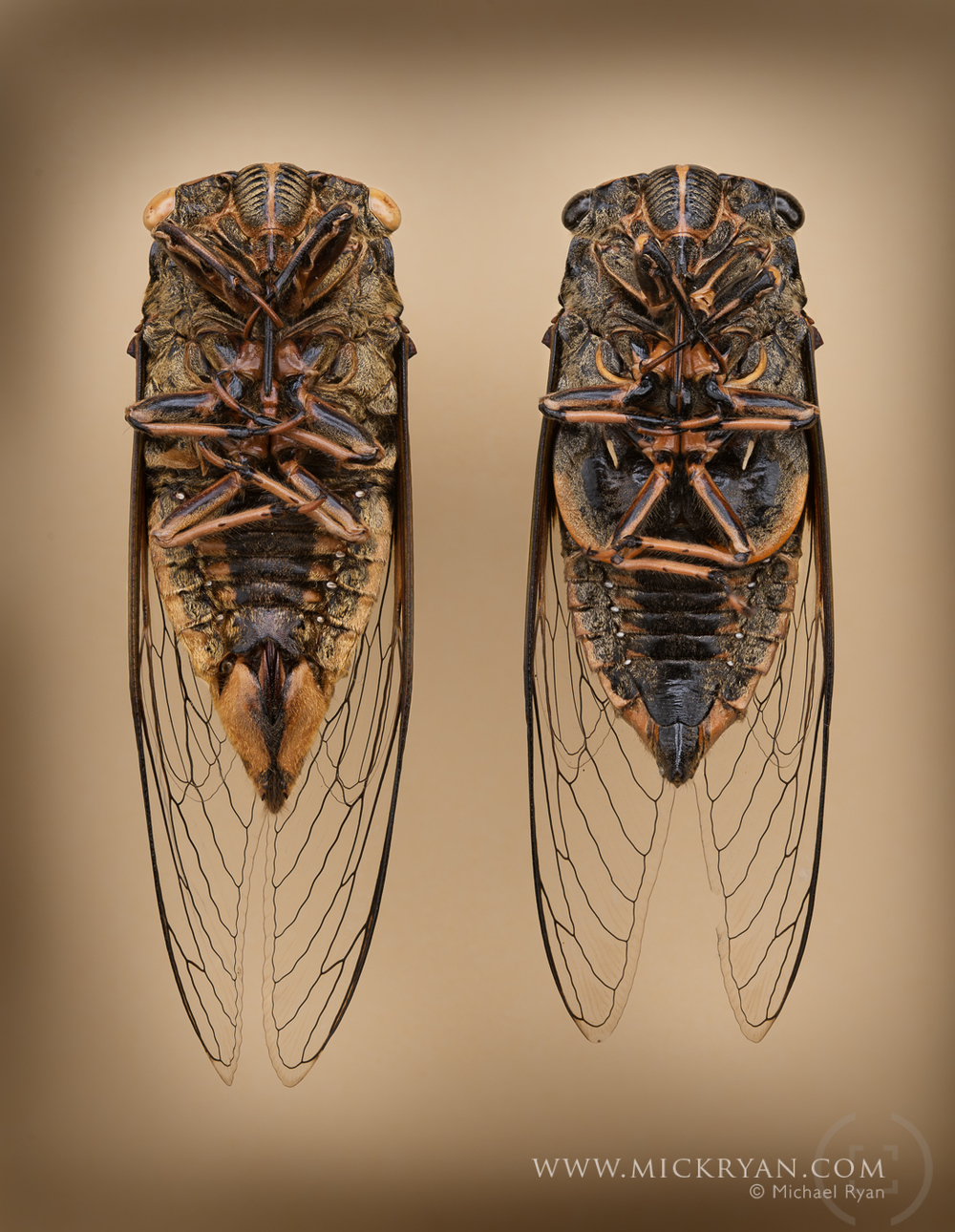 Cicada Portraits-1543-Edit.jpg