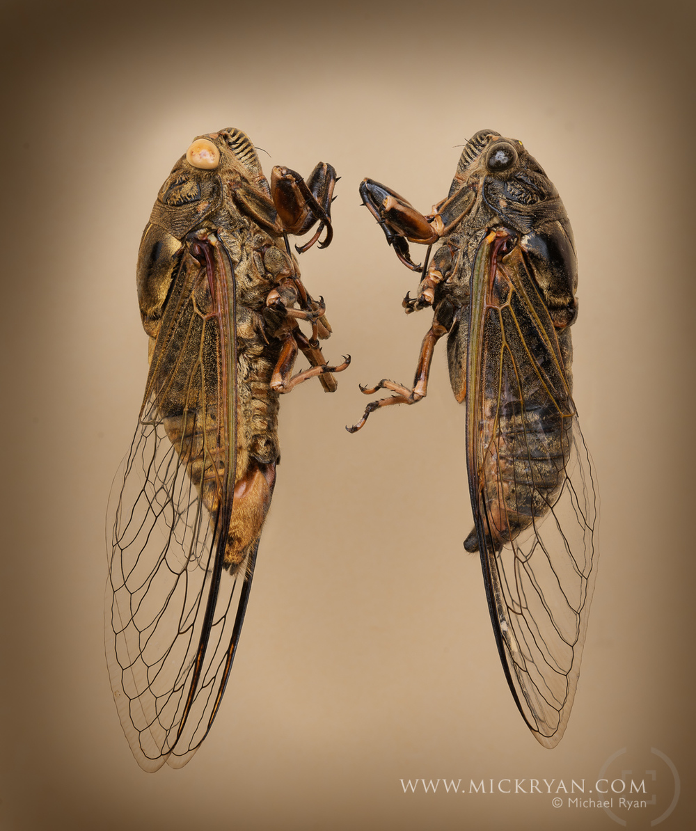 Cicada Portraits-1575-Edit-2.jpg