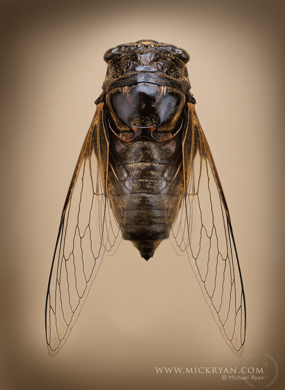 Cicada wings spread-3195-Edit.jpg