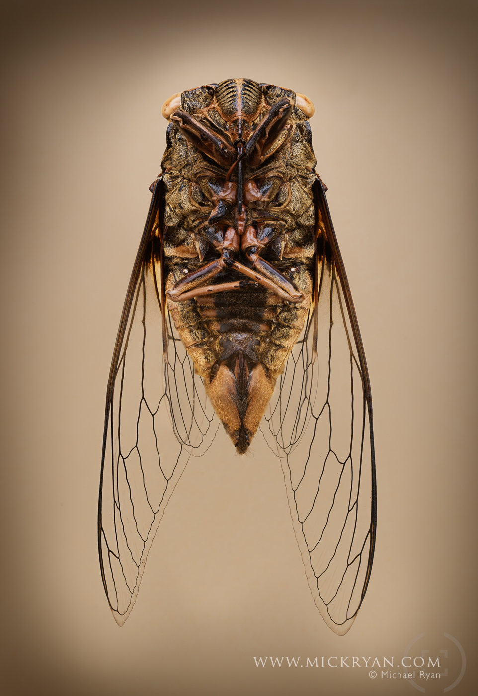 Cicada wings spread-3209-Edit.jpg