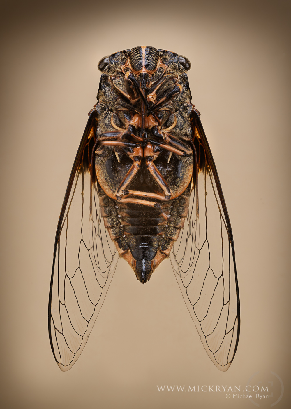 Cicada wings spread-3216-Edit.jpg