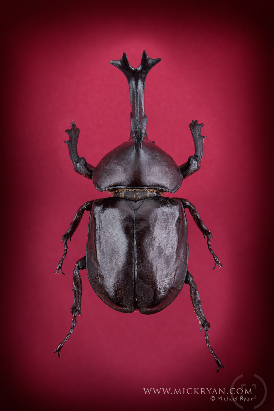 Unicorn beetle top side.