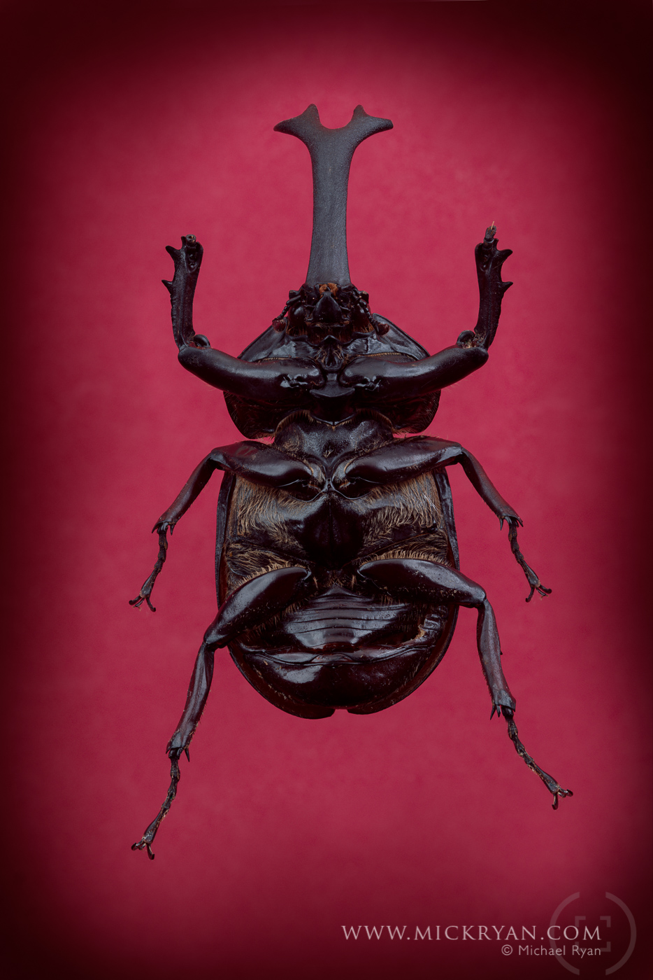 Unicorn beetle underside.