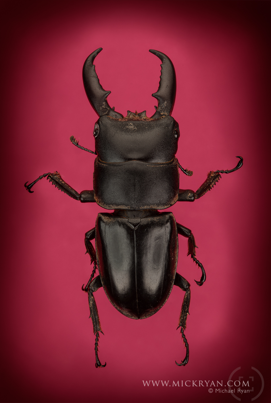 Stag beetle top side.