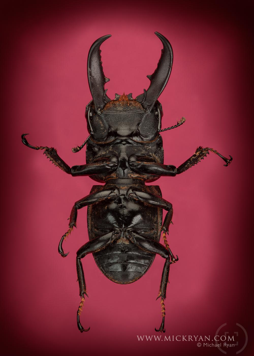 Stag beetle underside.
