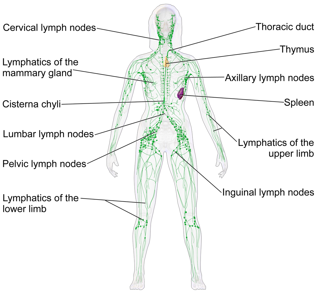 The Lymphatic System Quick Reload Learning