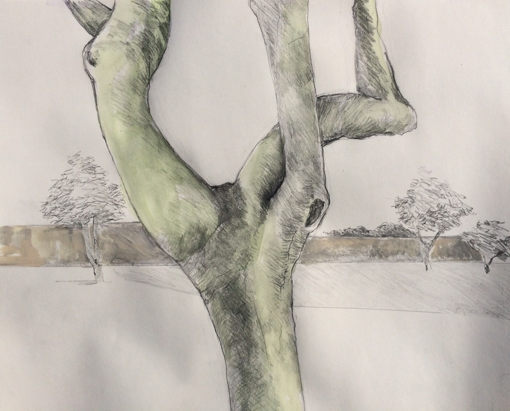 """Twist, Merrill Park Paloverde""  Acrylic and graphite 14X17"