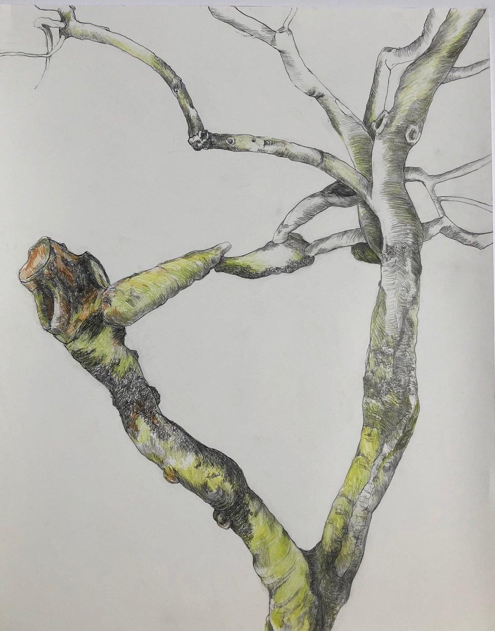 """""""Harp""""  Graphite and Watercolor Pencil  24"""" x 30"""""""