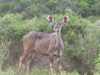 curious kudu cow