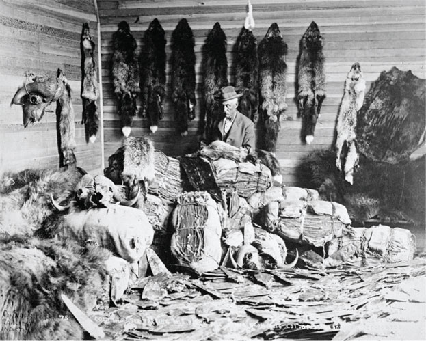 A man sits amongst beaver pelts. Image from Library and Archives Canada.
