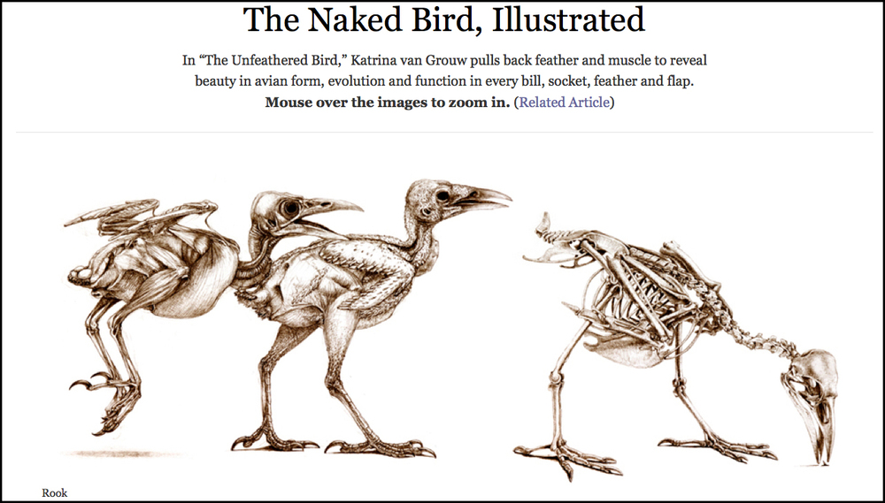 "February 11, 2013    The Naked Bird, Illustrated   Role: Interactive Editor   In ""The Unfeathered Bird,"" Katrina van Grouw pulls back feather and muscle to reveal beauty in avian form, evolution and function in every bill, socket, feather and flap.  Full Interactive"