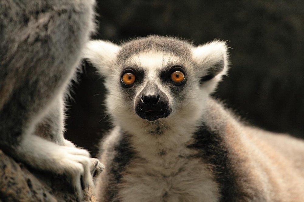 bronx-zoo-madagascar-14---lemur_2755344974_o.jpg