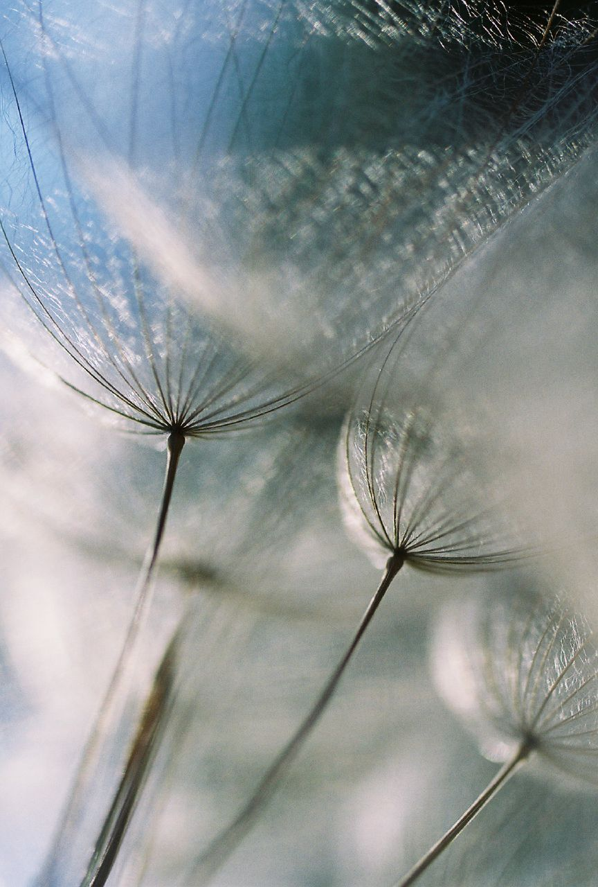 dandelion-in-time_768977760_o.jpg