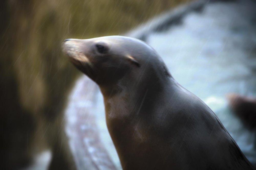 sea-lion-snowstorm-3_3242320827_o.jpg