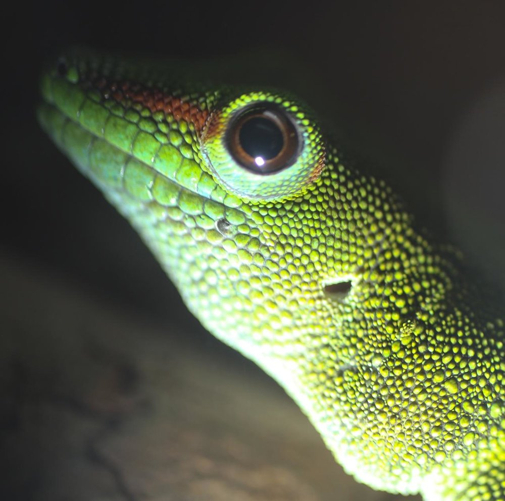sinister-gecko-up-close_3243362783_o.jpg