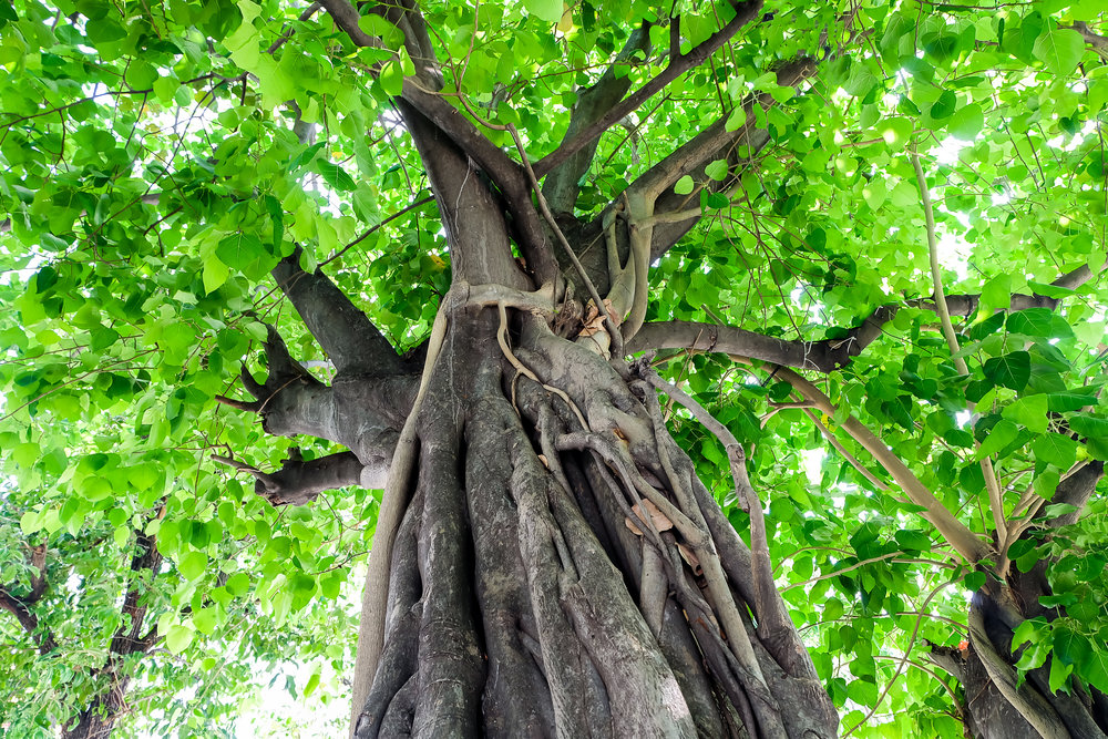 Bodhi Tree Photo.jpg