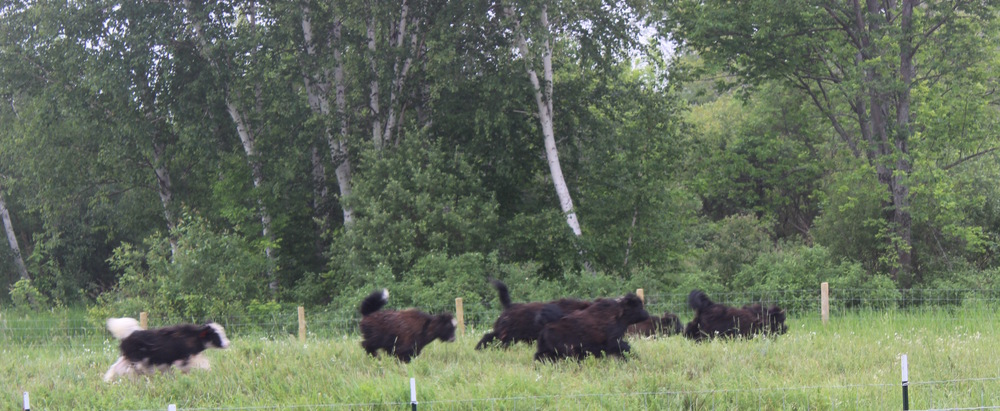 Yak Yearlings running cropped.jpeg