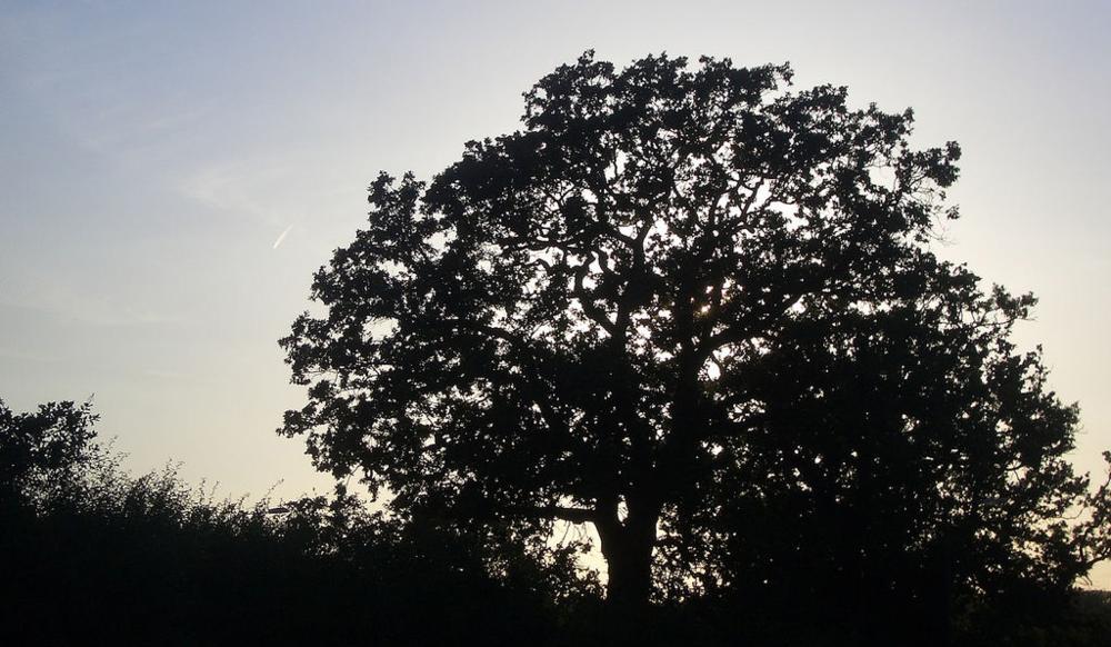 oak-tree-dusk.jpg