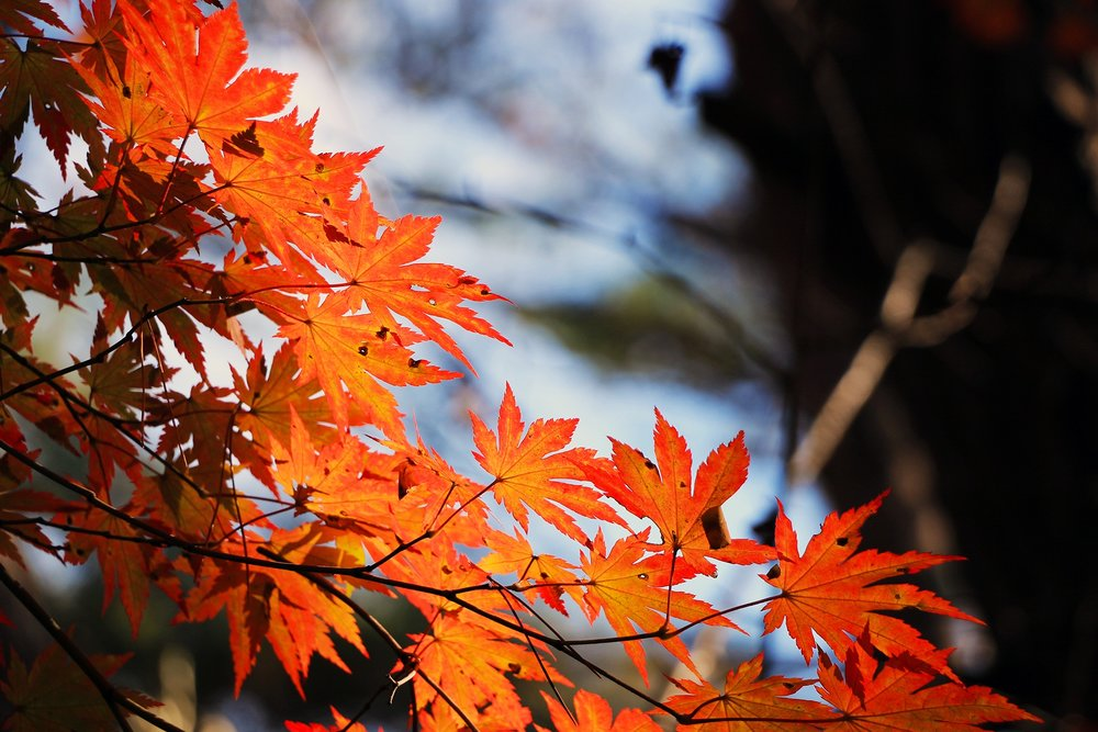 red-maple-leaf-507545.jpg