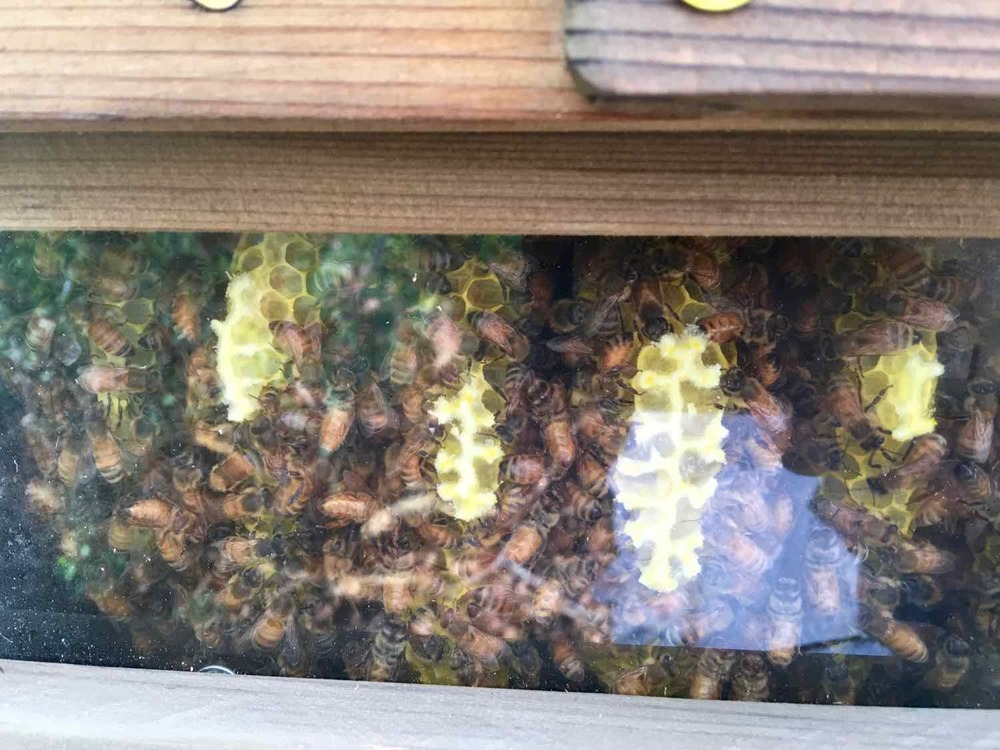 Honeycomb through the hive window