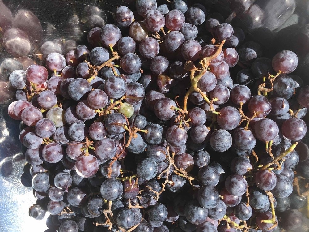 Concord Grapes from Pioneer Square Farmers Market