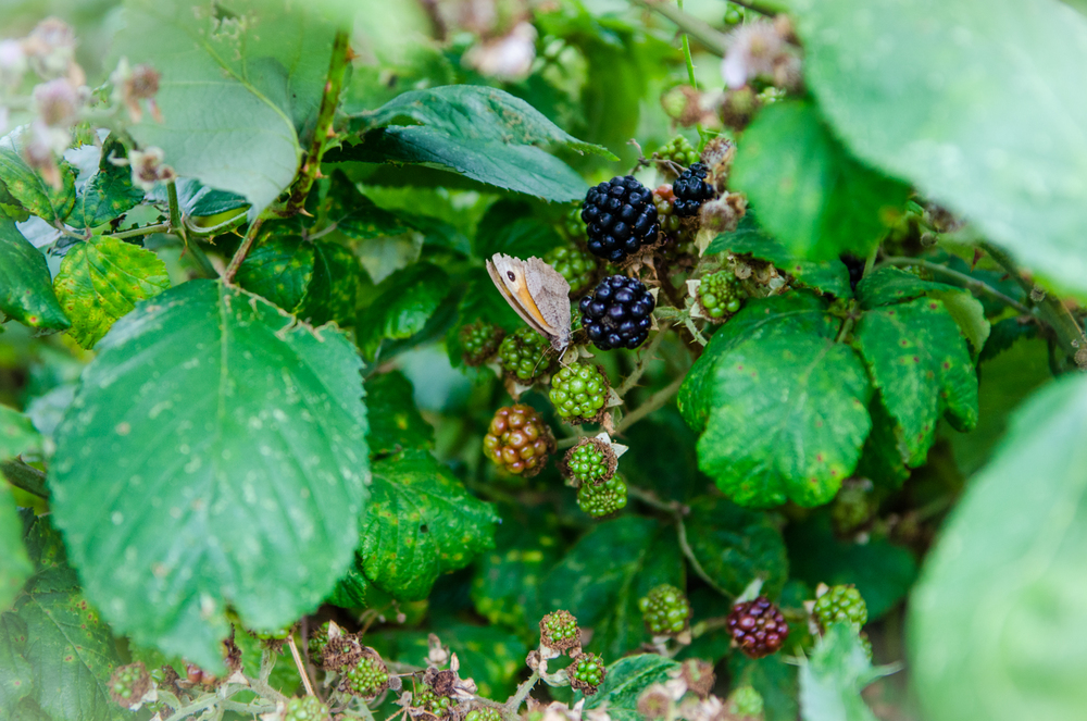 A simple Blackberry picking session has the potential to turn into so much more!