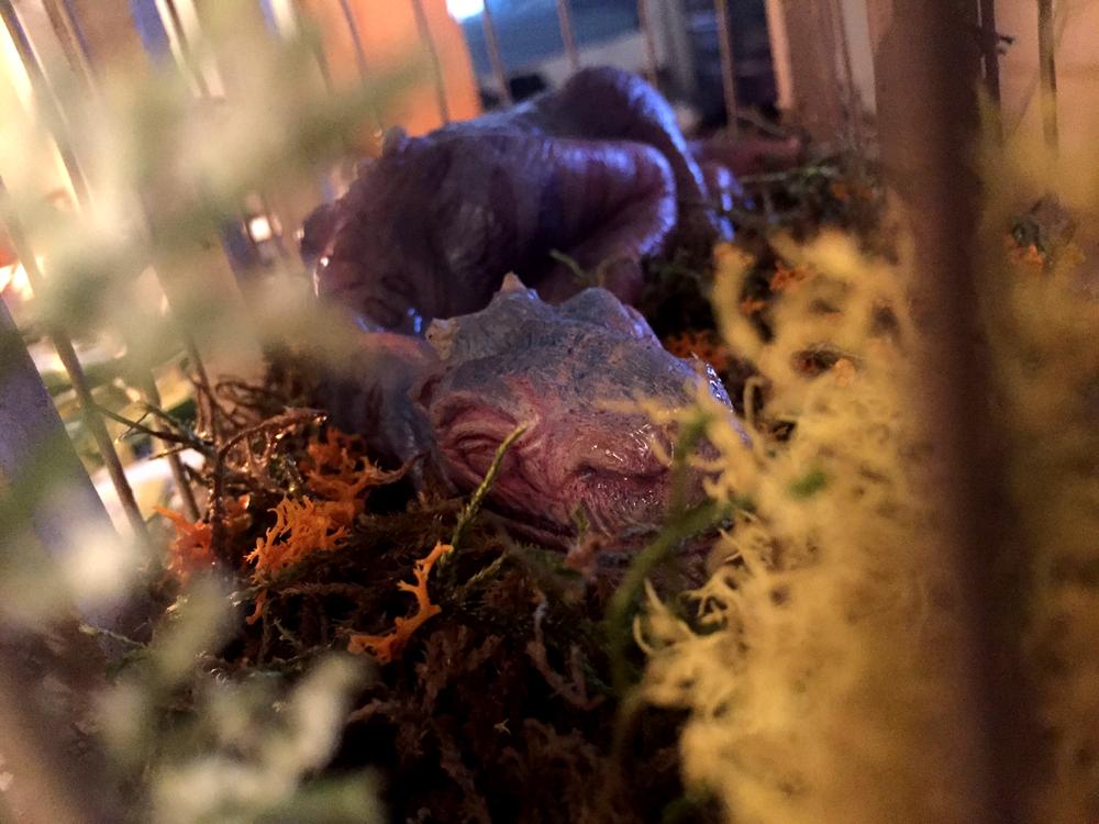 Sleeping Dragon (Daisy)