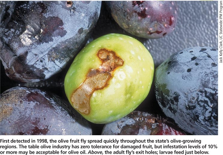 Olives with Fruit Fly Damage. We cannot accept these