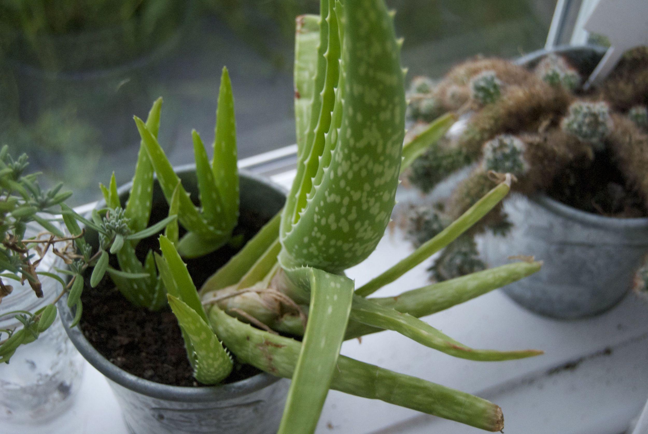 Aloe-vera-plant