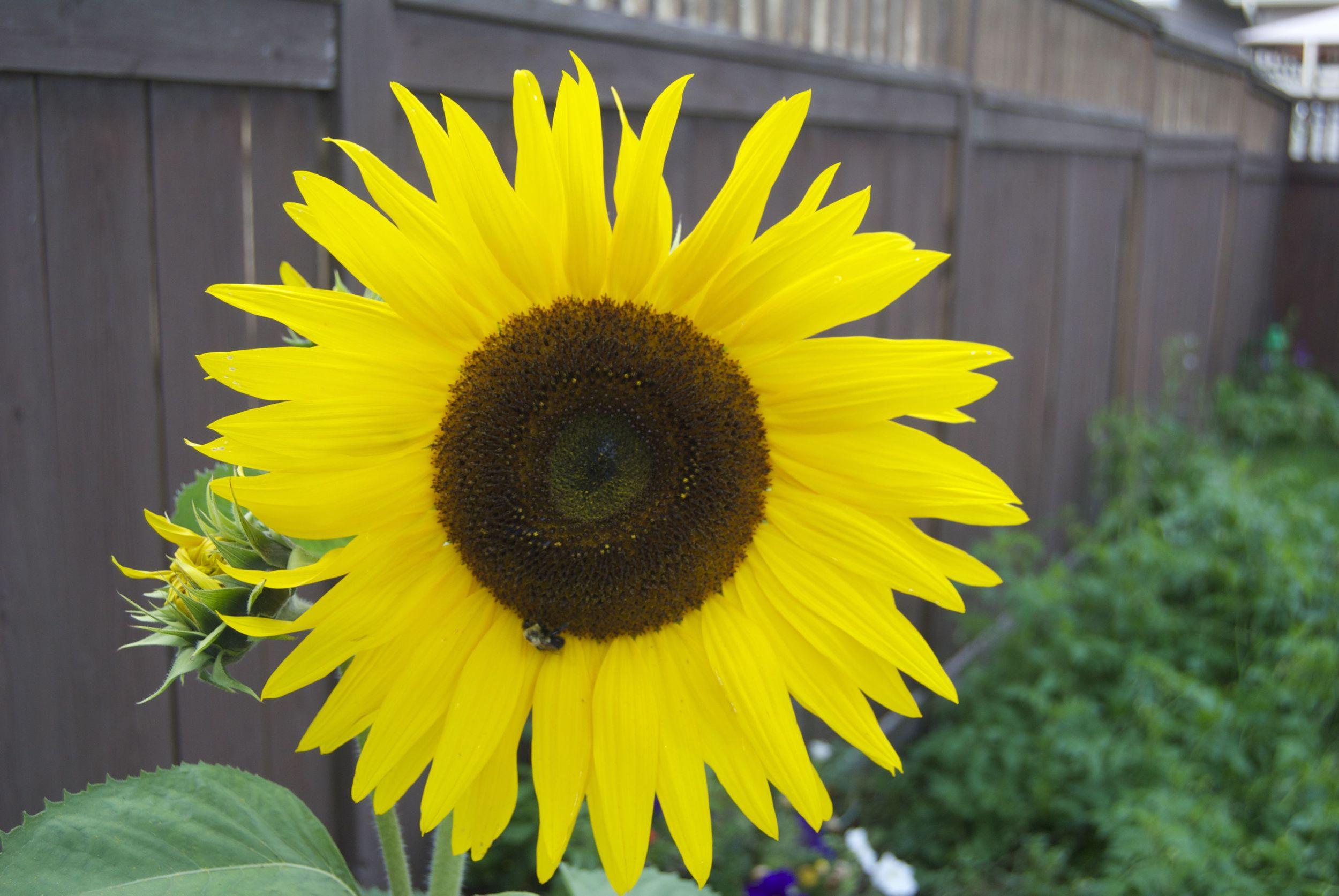 so-many-sunflowers