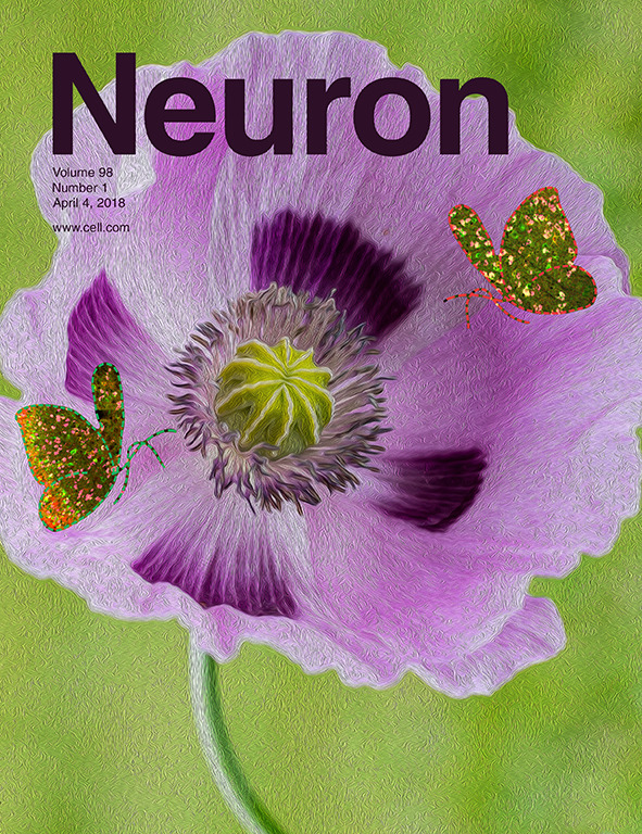 Functional Divergence of Delta and Mu Opioid Receptor Organization in CNS Pain Circuits      Wang et al. Neuron. 2018 (cover)    Cellular interactions between delta and mu opioid receptors (DORs and MORs), including heteromerization, are thought to regulate opioid analgesia. However, the identity of the nociceptive neurons in which such interactions could occur  in vivo remains elusive. Here we show that DOR-MOR co-expression is limited to small populations of excitatory interneurons and projection neurons in the spinal cord dorsal horn and unexpectedly predominates in ventral horn motor circuits. Similarly, DOR-MOR co-expression is rare in parabrachial, amygdalar, and cortical brain regions processing nociceptive information. We further demonstrate that in the discrete DOR-MOR co-expressing nociceptive neurons, the two receptors internalize and function independently. Finally, conditional knockout experiments revealed that DORs selectively regulate mechanical pain by controlling the excitability of somatostatin-positive dorsal horn interneurons. Collectively, our results illuminate the functional organization of DORs and MORs in CNS pain circuits and reappraise the importance of DOR-MOR cellular interactions for developing novel opioid analgesics.