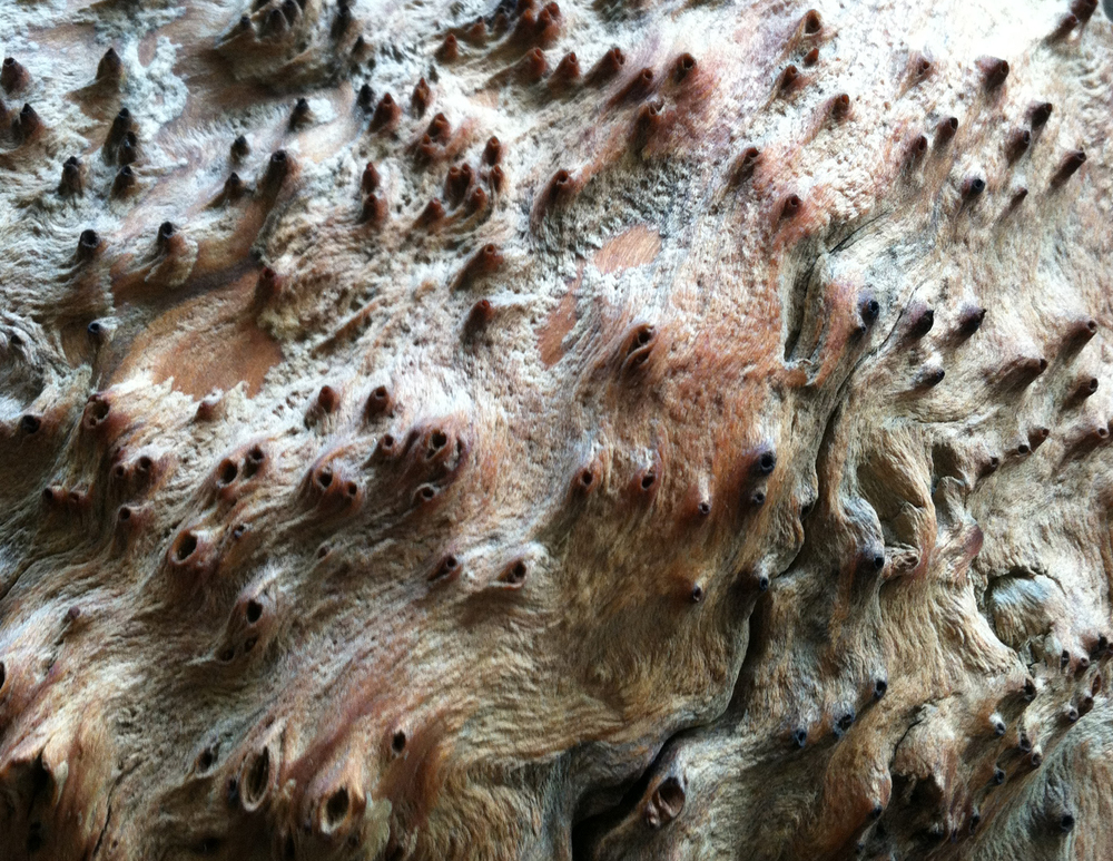 redwood burl - 30044