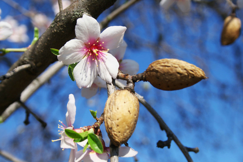 almond blossom and husk on tree.jpg