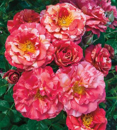 Frida Kahlo Rose Pic..jpg