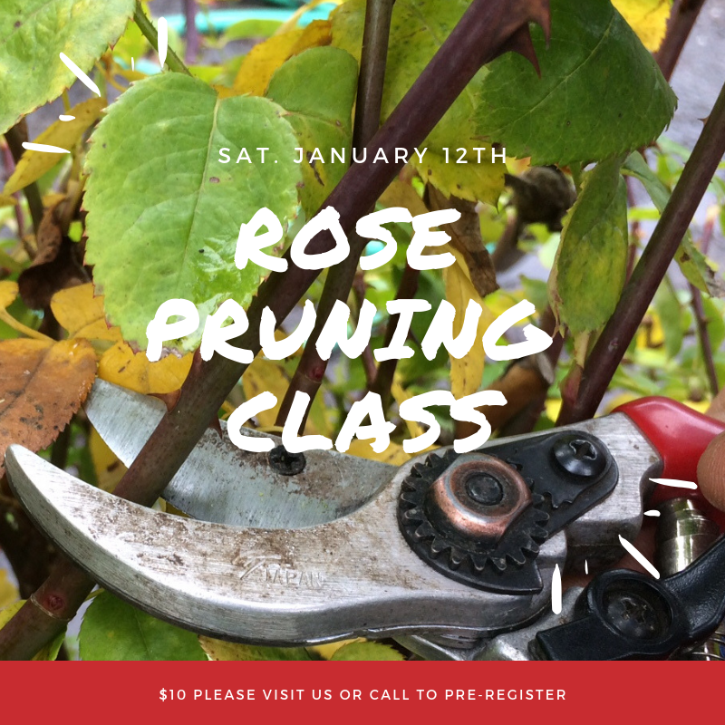 Rose Pruning class.png