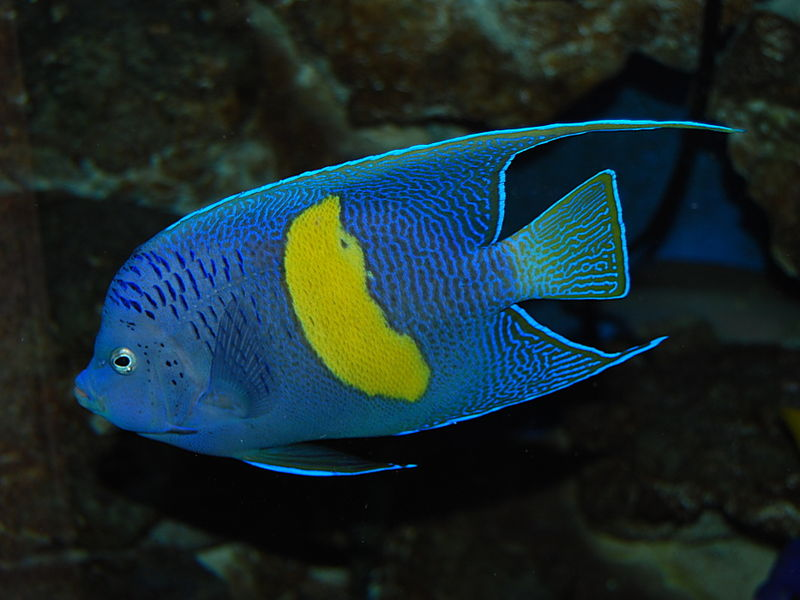 800px-Yellowbar_angelfish.jpg