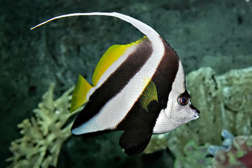 1200px-Pennant_coralfish_melb_aquarium_edit2.jpg