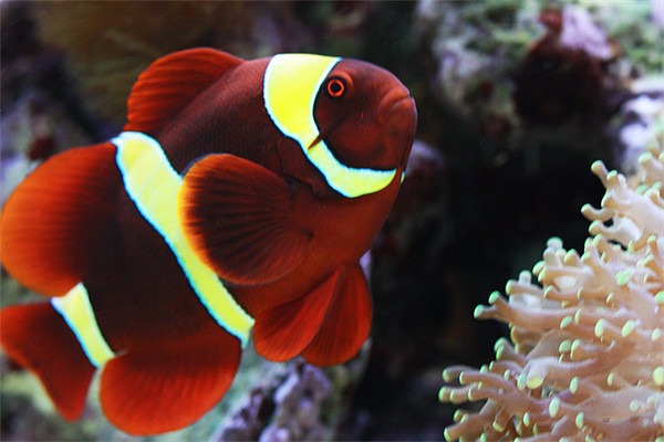 Maroon-Clown-Fish-exotic-marine-fish.jpg