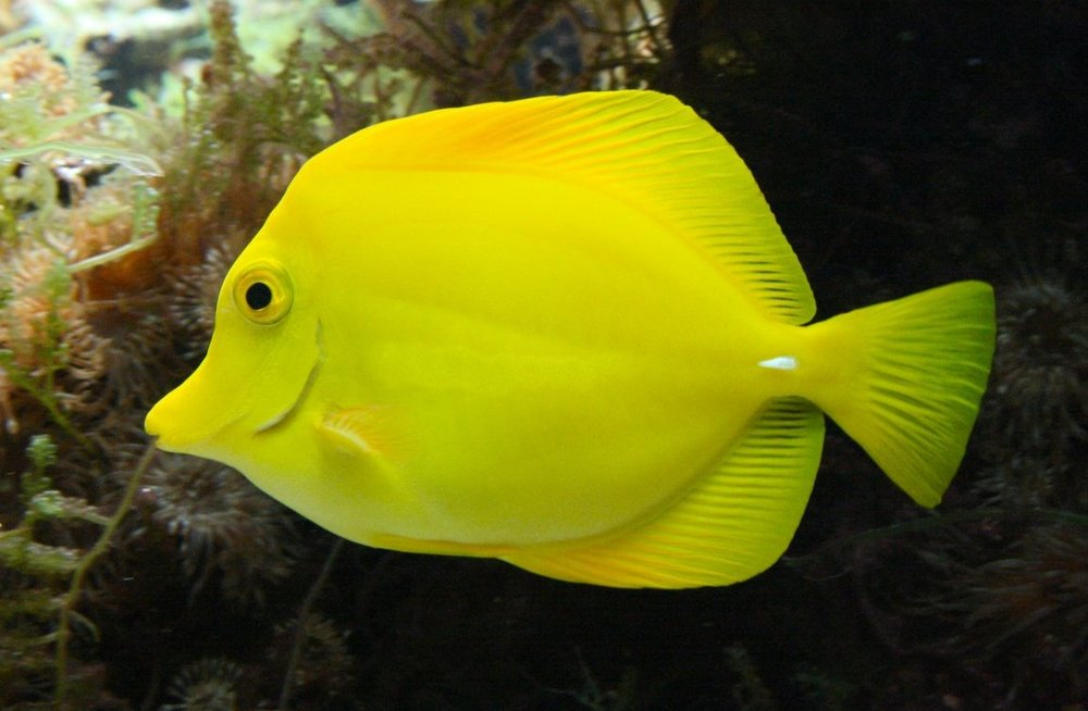 Poissonchirurgienjaune_(cropped).jpg