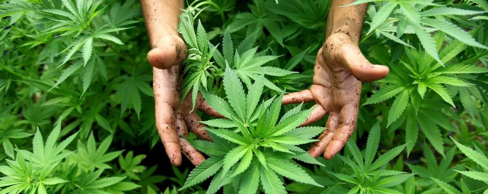 medical-marijuana-patients-lost-in-regulation-weeds-1434807882.jpg