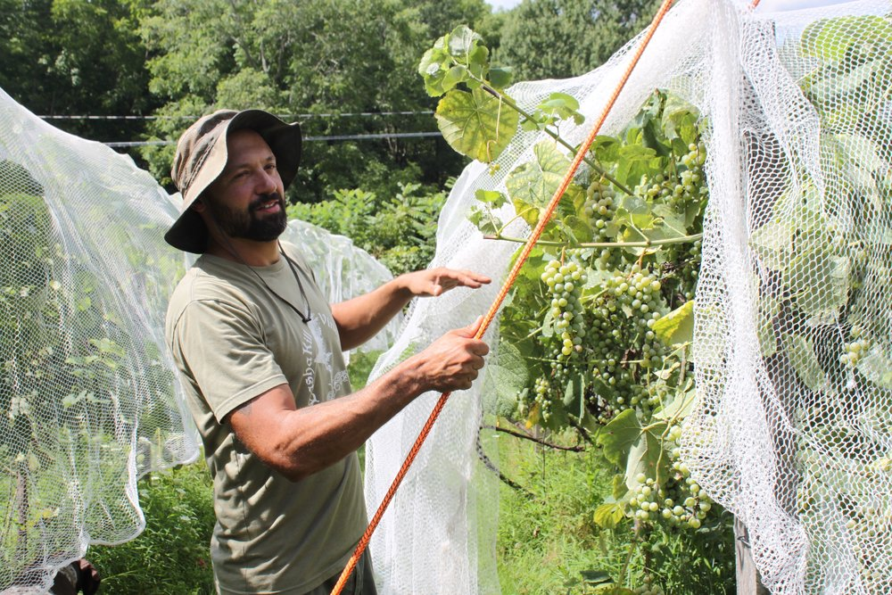 Paul is securing protective netting over organic Marquette grapes