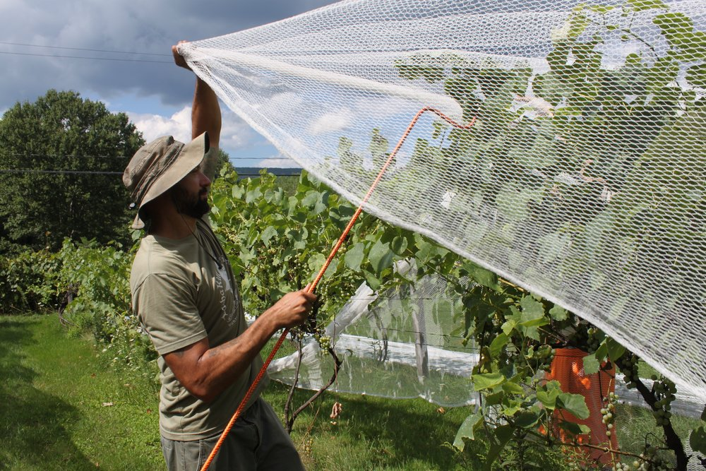 Netting protects grapes from animals instead of using chemicals