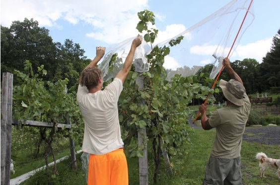 Josh, a 17-year aspiring brewer, learns to take care of grapes