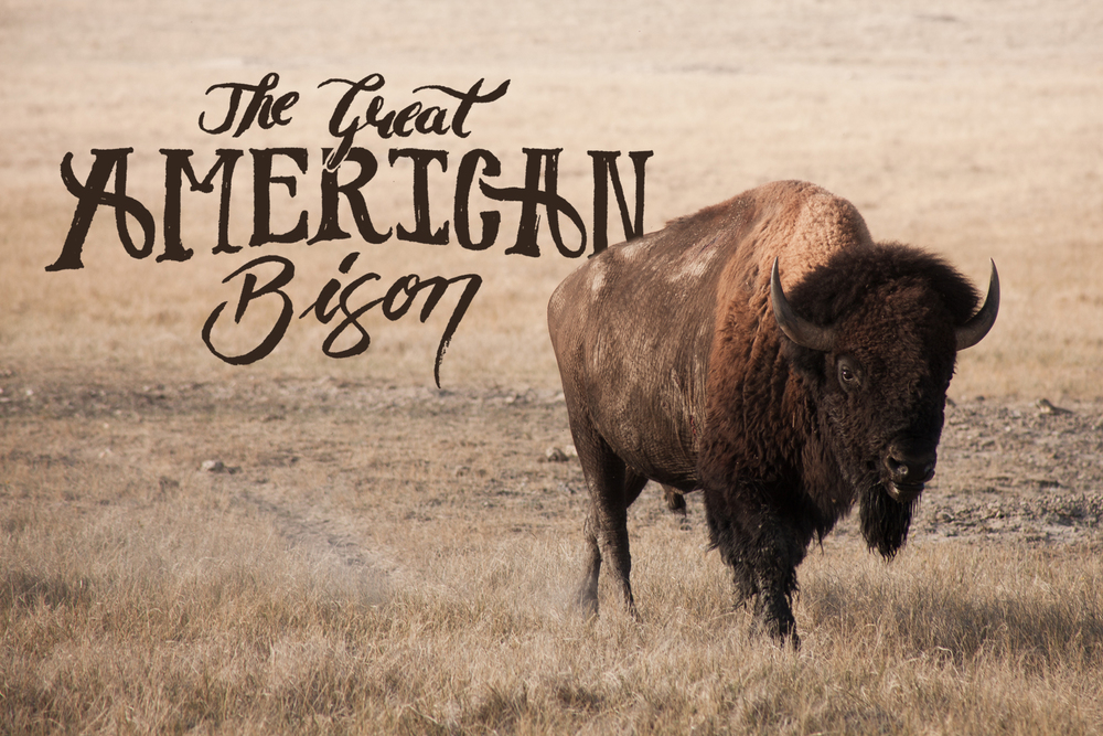 great-american-bison-buffalo-national-mammal-midwest