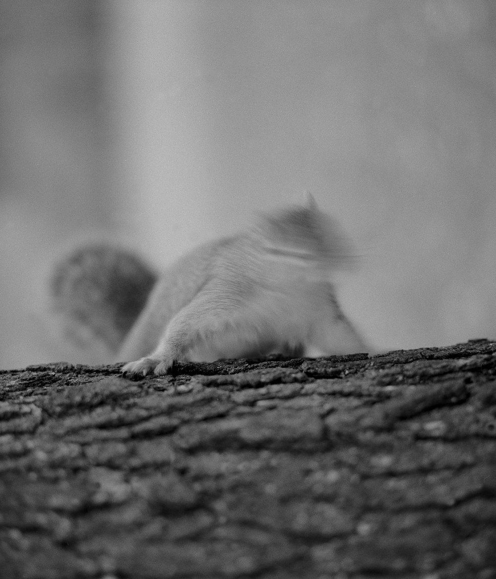 Squirrel, Oregon