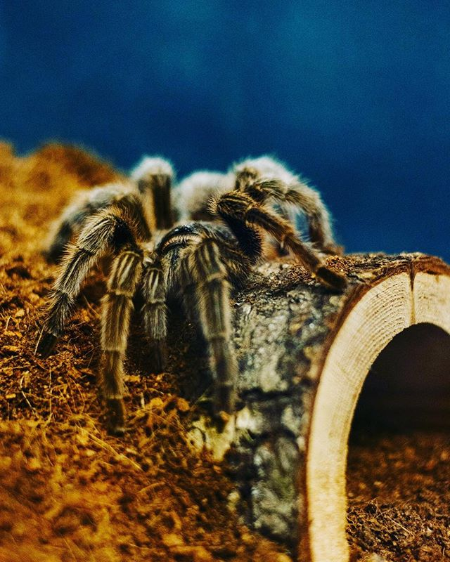 nothing like a glorious picture of my now-dead t-ranch to help get into the spooky spirit! who knew one could miss a spider? #spooky #tarantulasofinstagram #rip #antuanette #🕷 photo by @npierce88