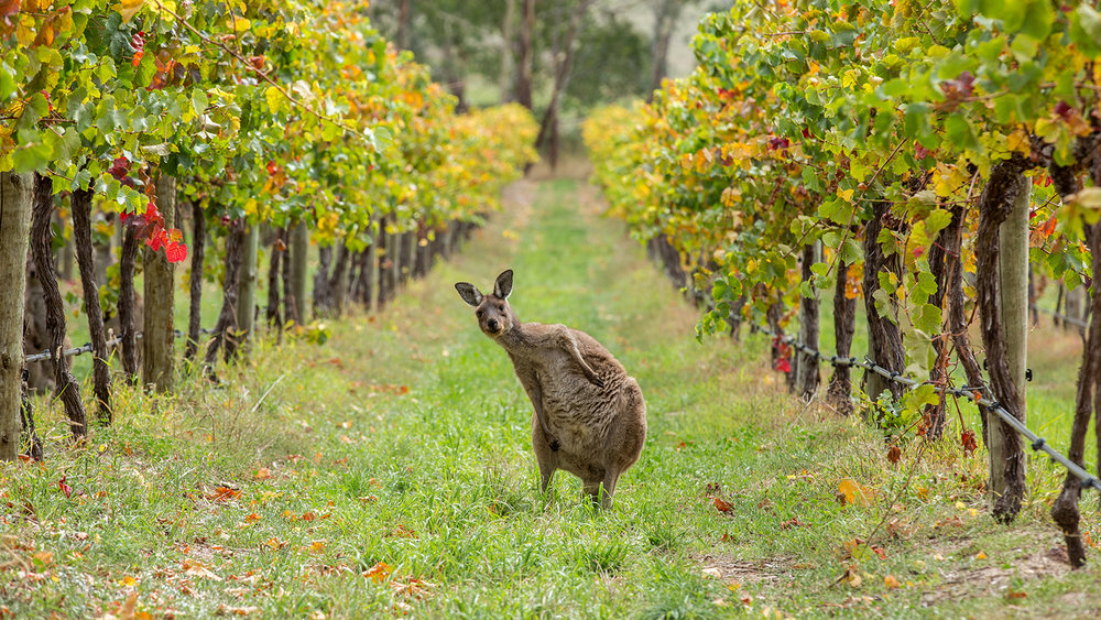 South Australia Wineries & Vineyards -